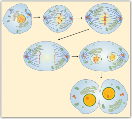 graphic illustration of cell mitosis
