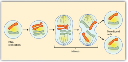 image showing DNA replication, mitosis, and two diploid cells
